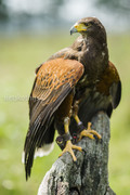 Harris Hawk, Woestij